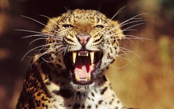 Animal - Leopard Wallpapers and Backgrounds ID : 526893