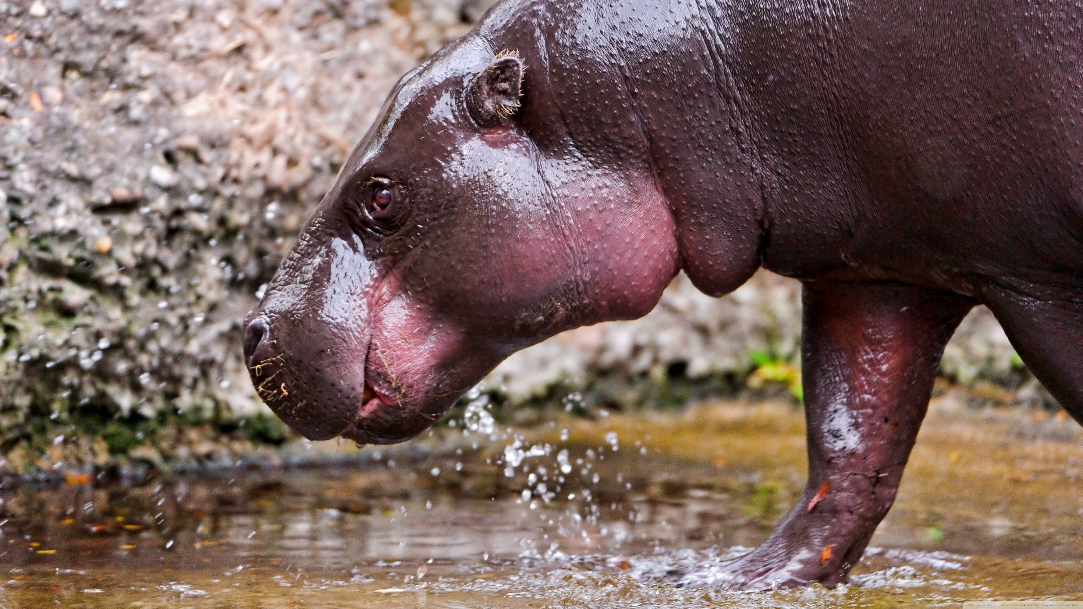 animal hippo wallpaper 1600x1200 - photo #13