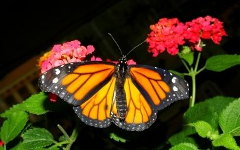 Animal - Butterfly Wallpapers and Backgrounds ID : 528791