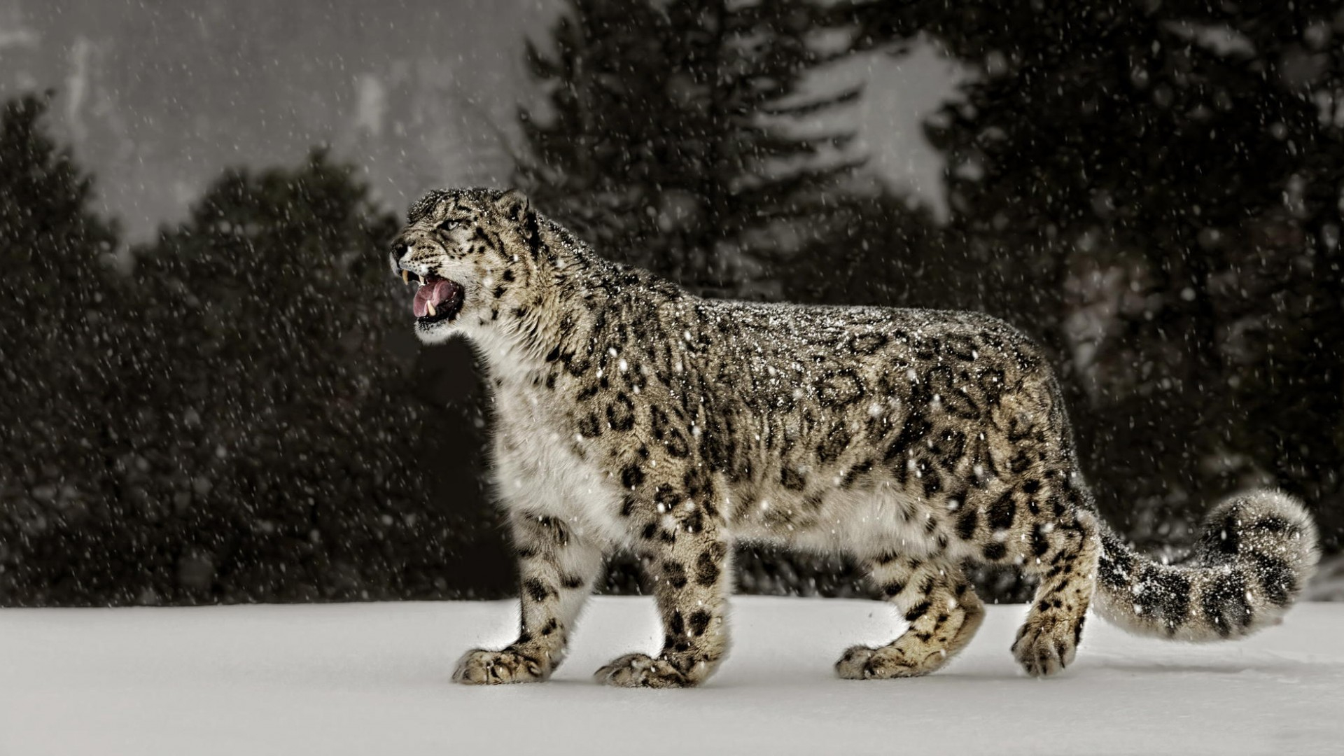 snow leopard wallpapers for iphone