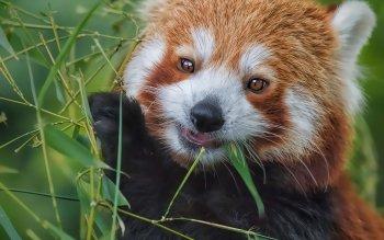 Animaux - Panda Roux Fonds d'écran et Arrière-plans ID : 529862