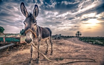 8 Mule HD Wallpapers | Backgrounds - Wallpaper Abyss