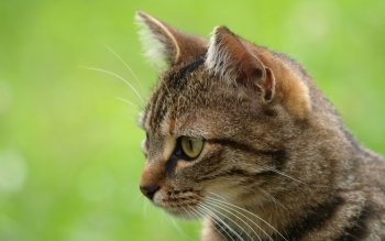 Animal - Cat Wallpapers and Backgrounds ID : 534108