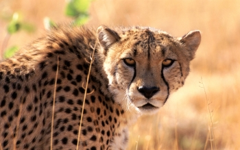 Djur - Cheetah Wallpapers and Backgrounds ID : 535224