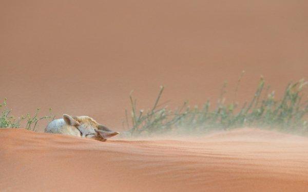 Animal Fennec Fox Fox Desert Grass Cute HD Wallpaper | Background Image