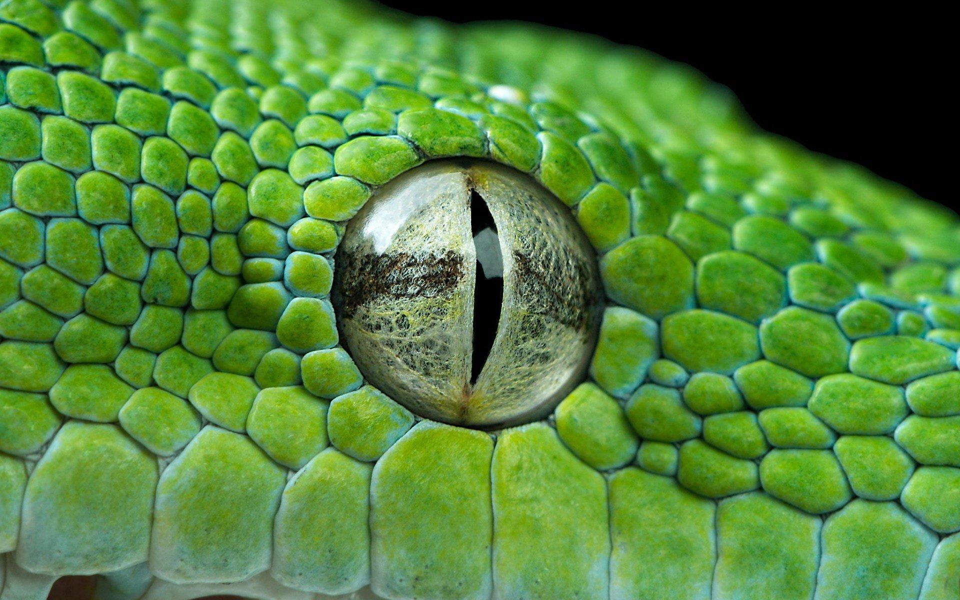 Animal - Viper  Wallpaper