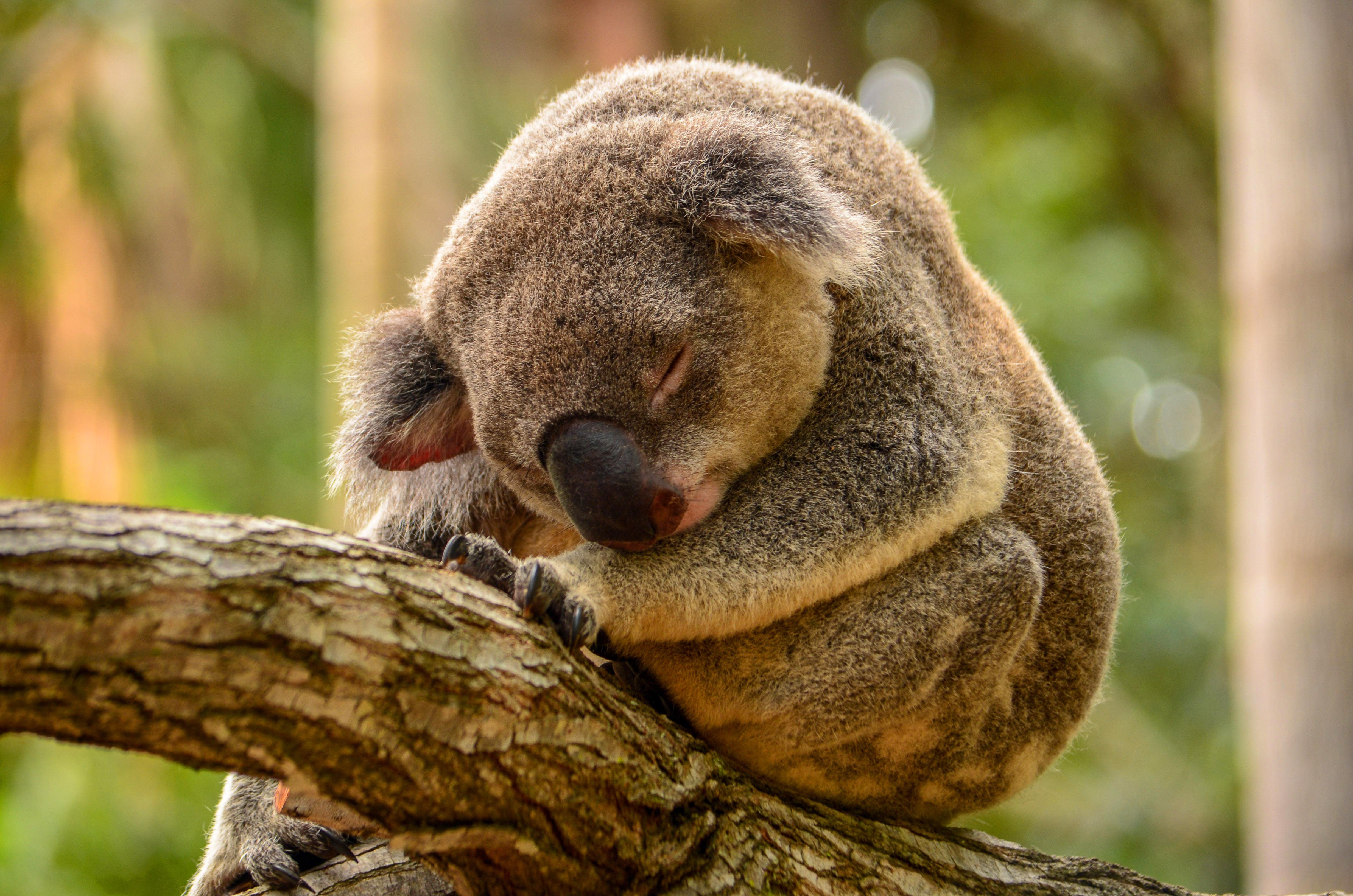 koala wallpaper iphone