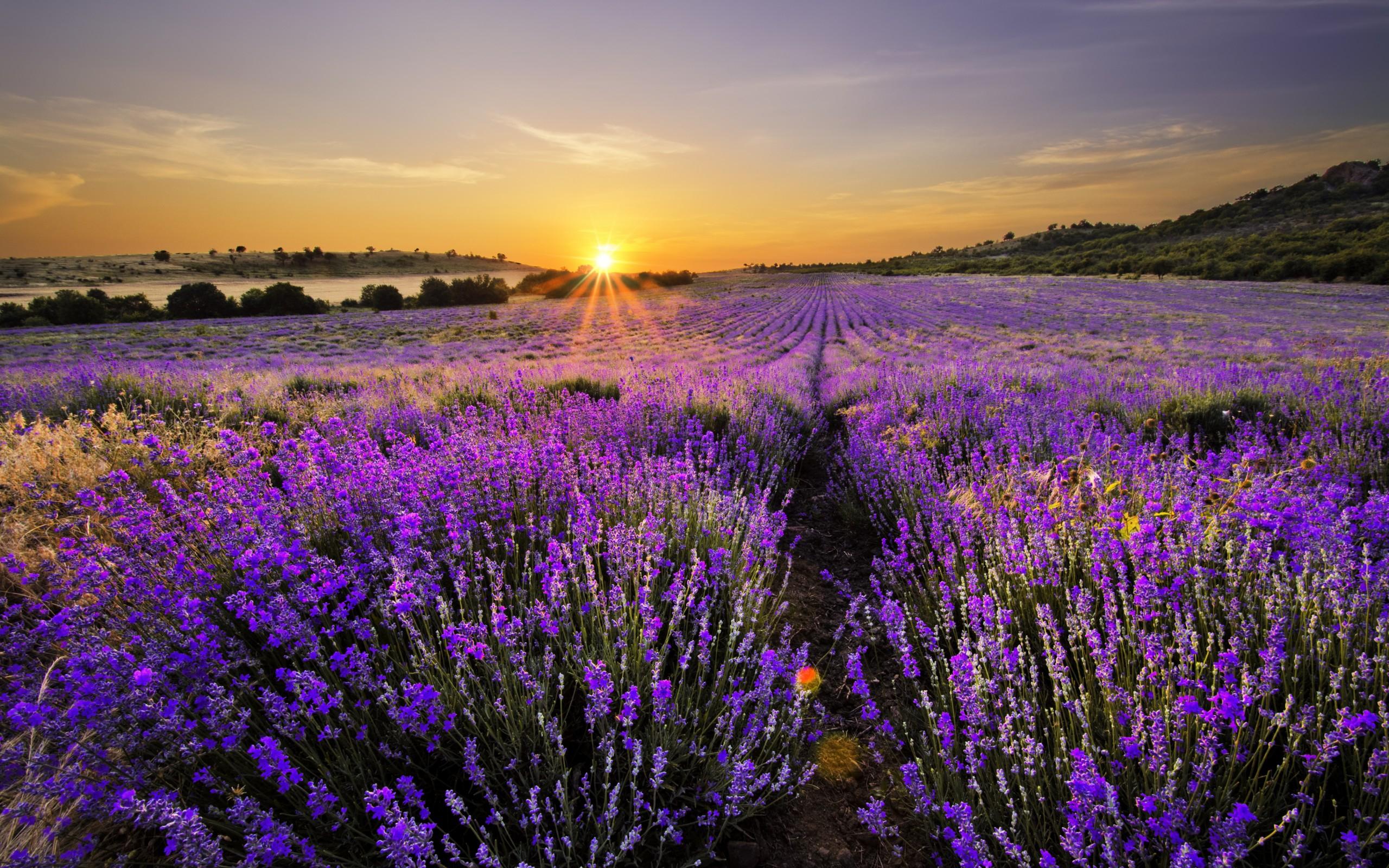 Lawenda full hd tapeta and t o 2560x1600 id 588338 for Lavendelfelder provence