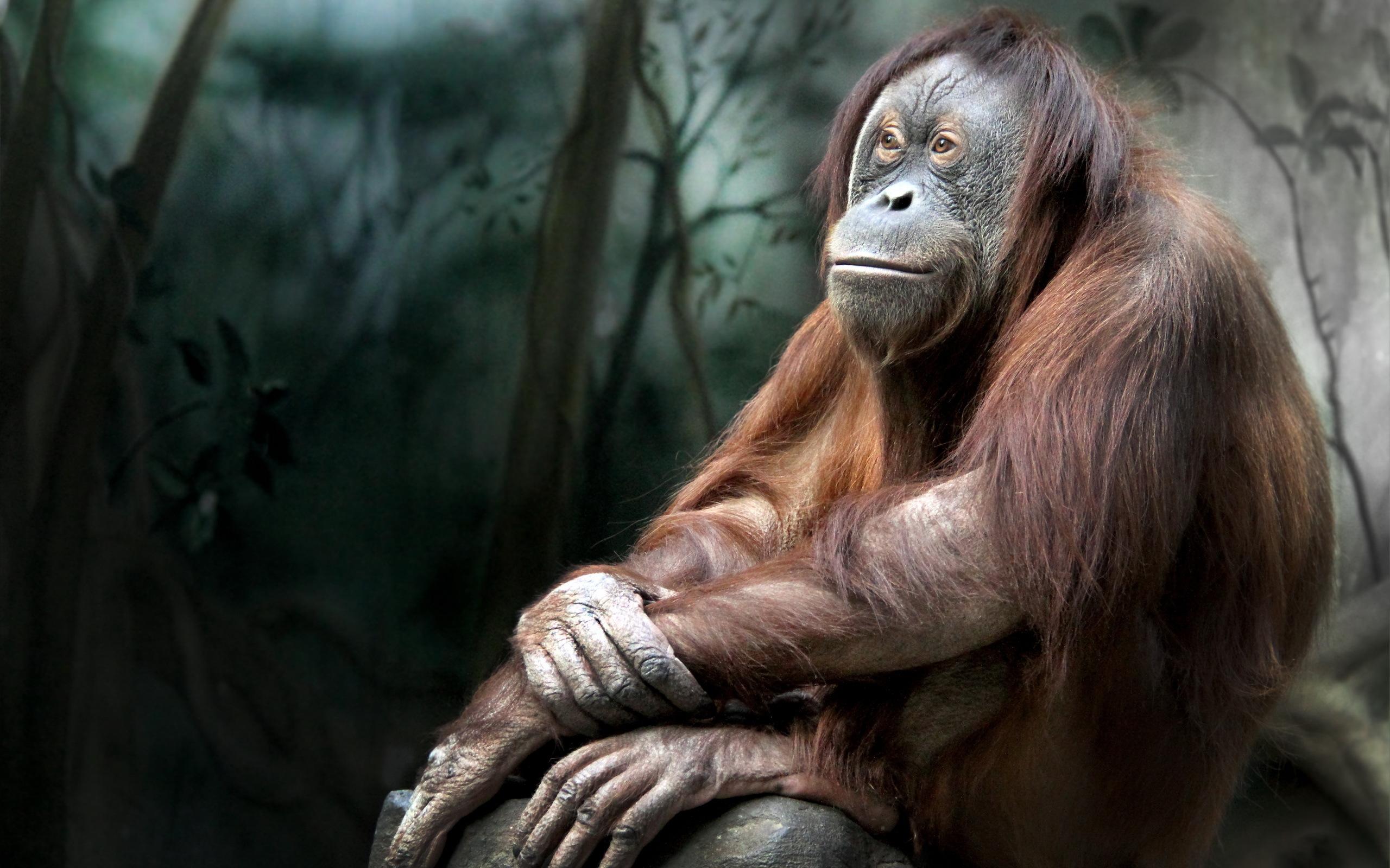 Orangutan Hd Wallpaper Background Image 2560x1600 Id590443