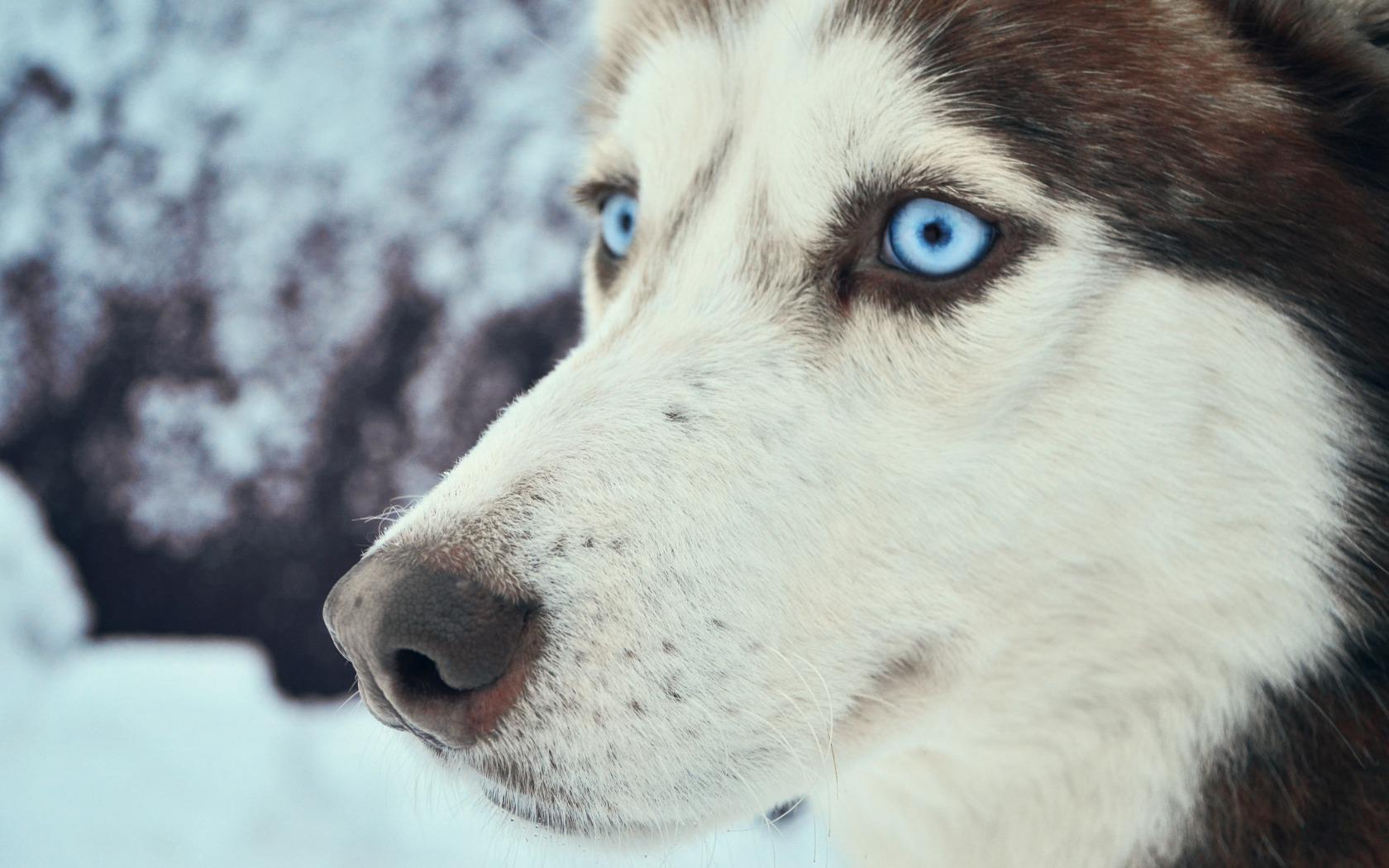 Big Alaskan Dog