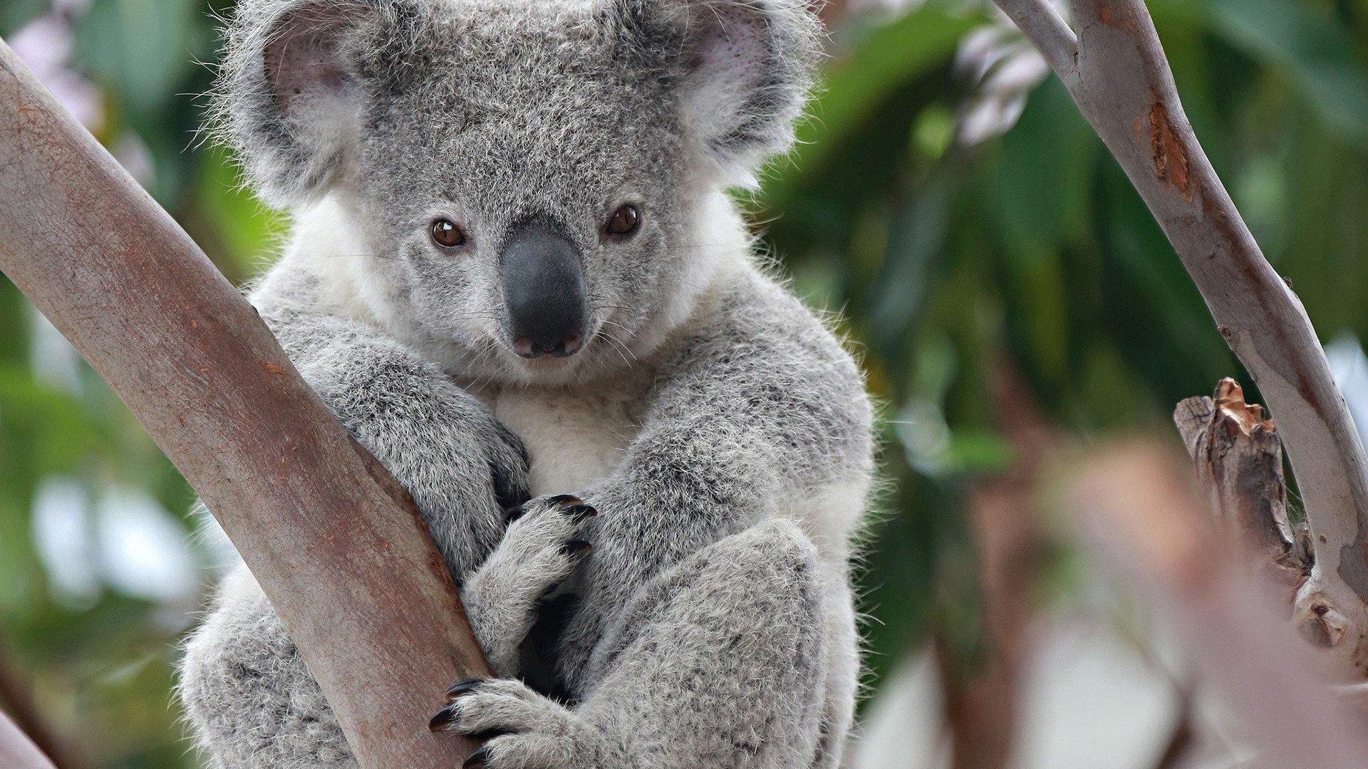 fond d'ecran koala