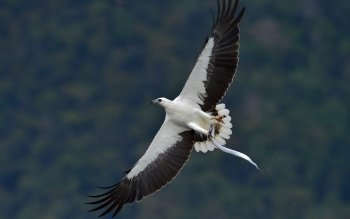 2 4k Ultra Hd White Bellied Sea Eagle Wallpapers Background Images Wallpaper Abyss