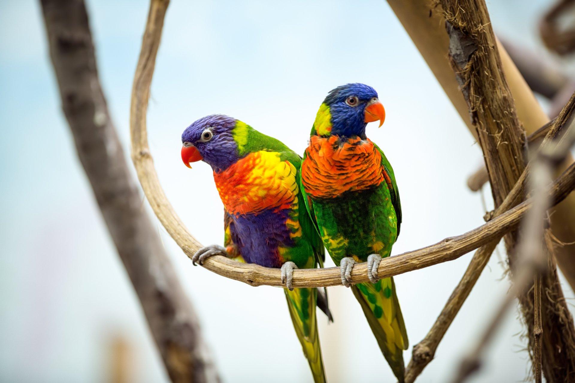 A Beautiful Couple Of Lorikeet Birds Wallpaper Hd: Rainbow Lorikeet Full HD Wallpaper And Background Image