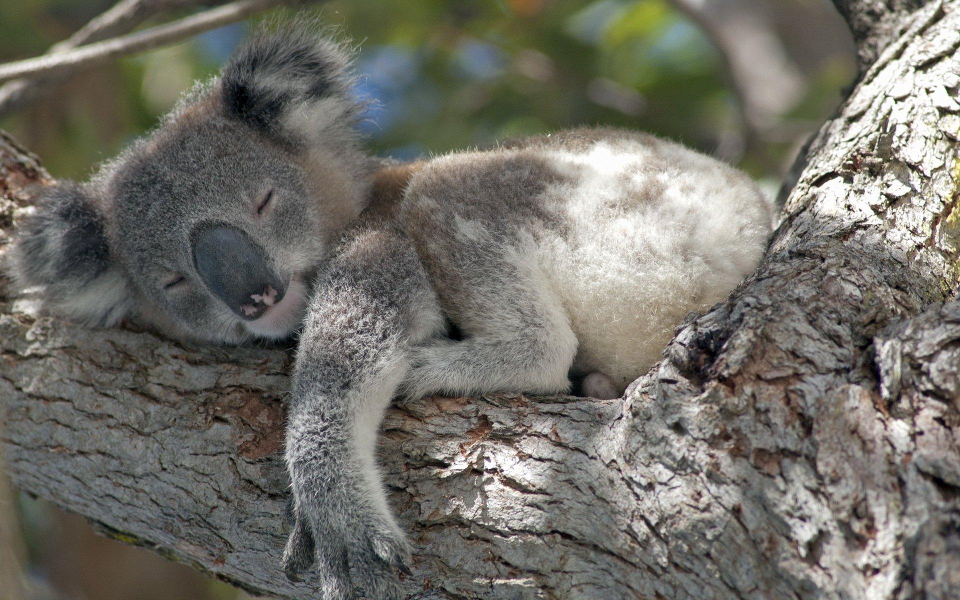 koala full hd wallpaper and background image 1920x1200