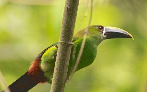 Animal Emerald Toucanet Birds Toucans Toucan Bird HD Wallpaper   Background Image