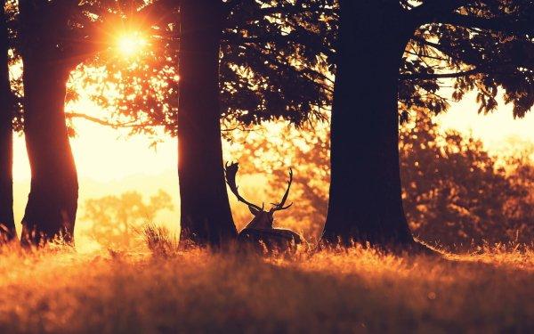 Animal Deer Sunbeam HD Wallpaper   Background Image