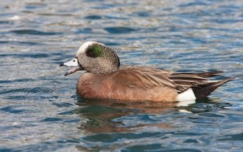 Preview Animal - American Wigeon Art