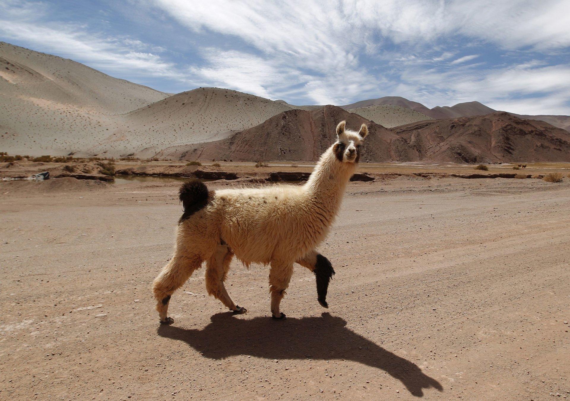 Llama HD Wallpaper
