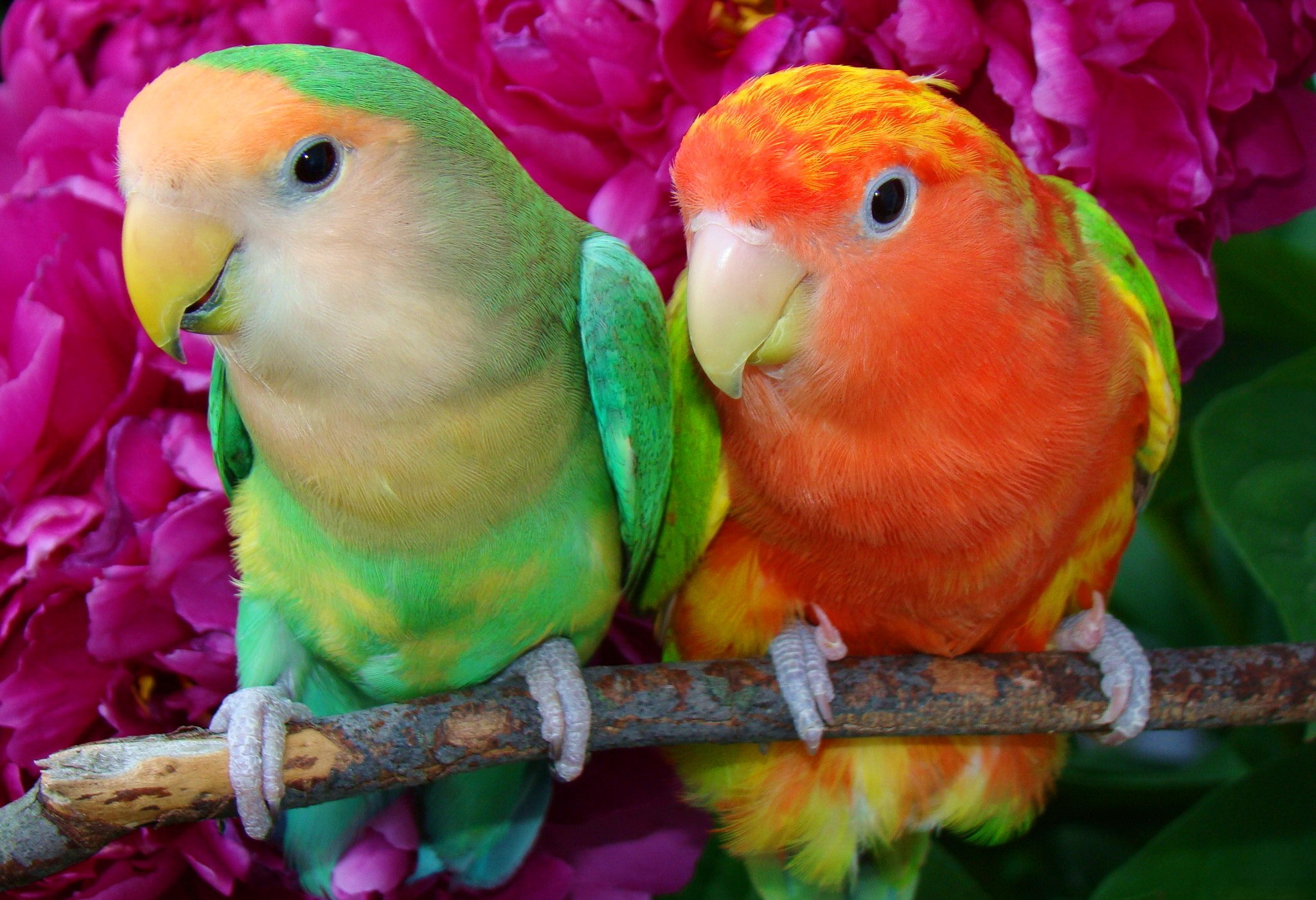 Citaten Love Bird : Perroquet full hd fond d écran and arrière plan
