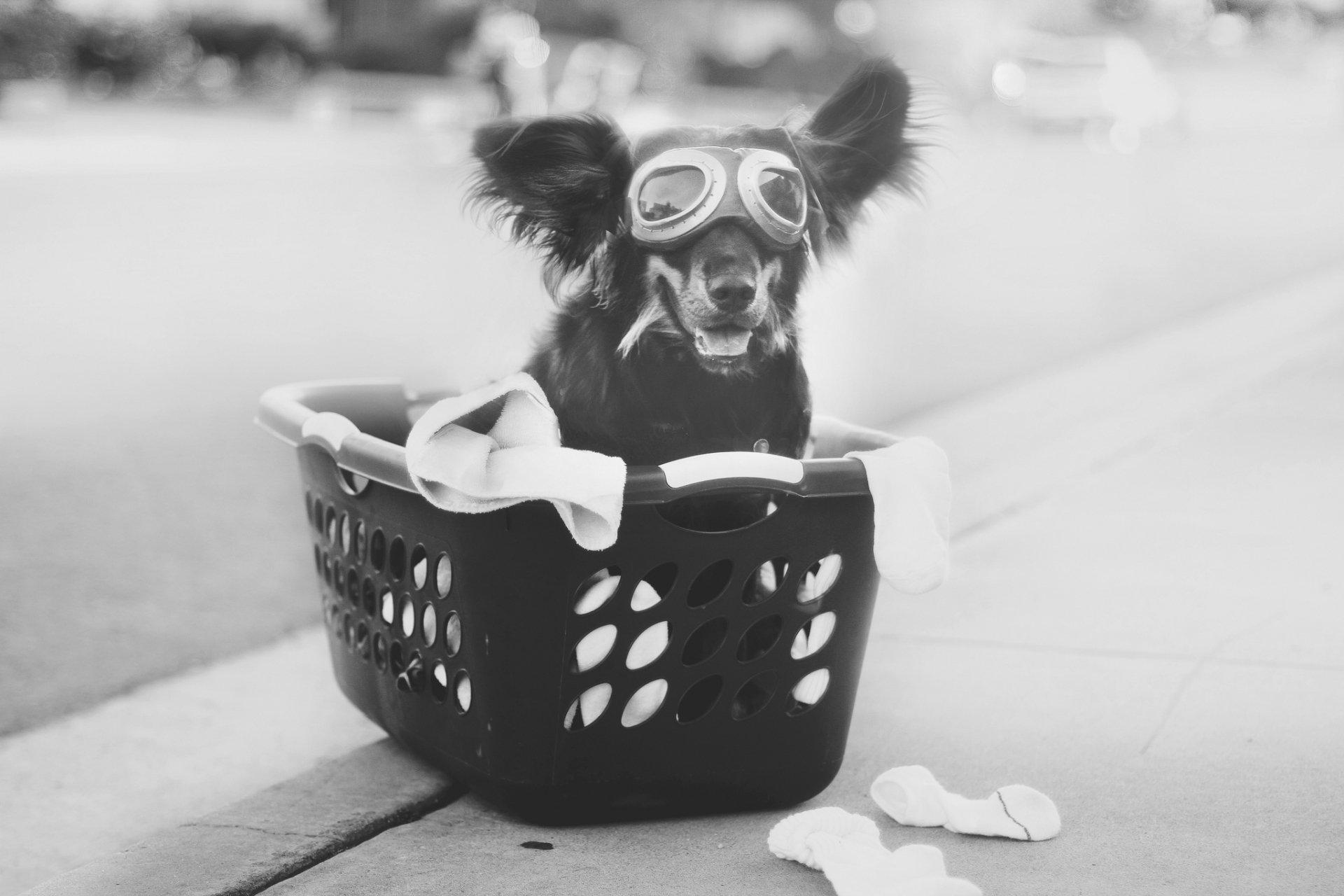 Animal - Australian Shepherd  Dog Goggles Cute Funny Black & White Wallpaper