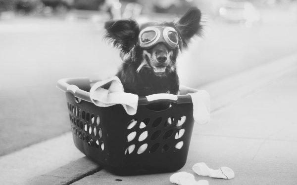 Animal Australian Shepherd Dogs Dog Goggles Cute Funny Black & White HD Wallpaper   Background Image