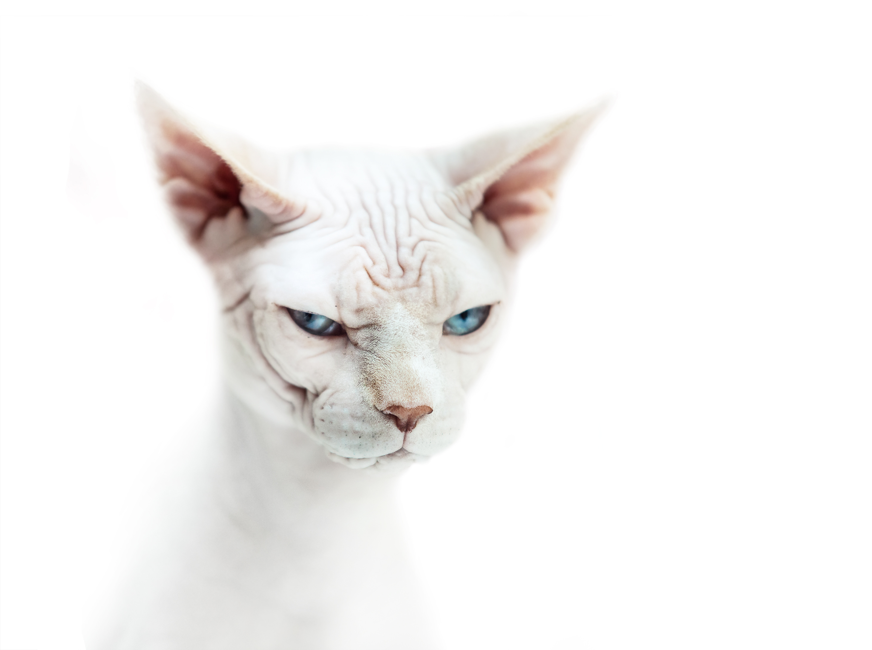 Sphynx Cat Full HD Wallpaper and Background | 2919x2178 ...
