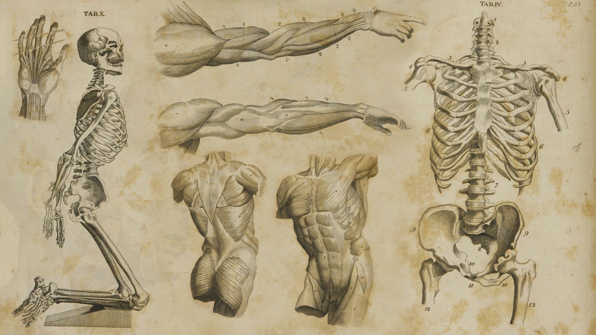 anatom a full hd fondo de pantalla and fondo de escritorio ram skull diagram tiger skull diagram