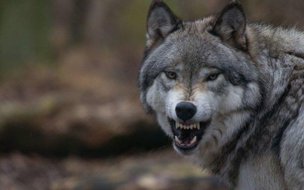 Animal Wolf Wildlife Snarl HD Wallpaper | Background Image
