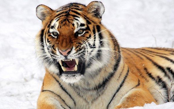 Animal Tiger Cats Snarl Cat Big Cat Wildcat HD Wallpaper   Background Image
