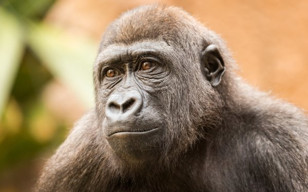 Animal Gorilla Monkeys Monkey Ape HD Wallpaper | Background Image