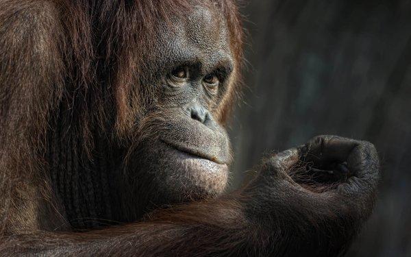 Animal Orangutan Monkeys Monkey Ape Primate HD Wallpaper | Background Image