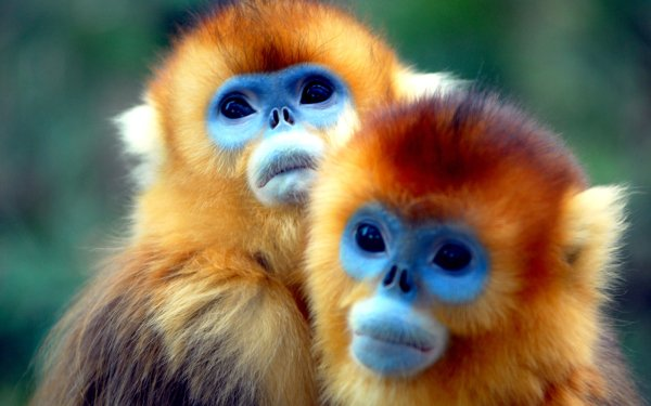 Animal Golden snub-nosed monkey Monkeys HD Wallpaper | Background Image