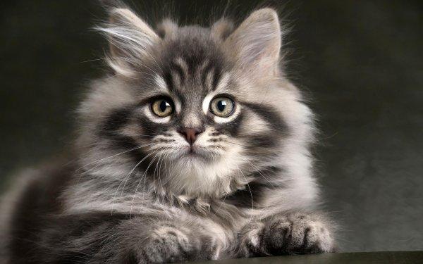 Animal Cat Cats Kitten Gray Pet HD Wallpaper | Background Image