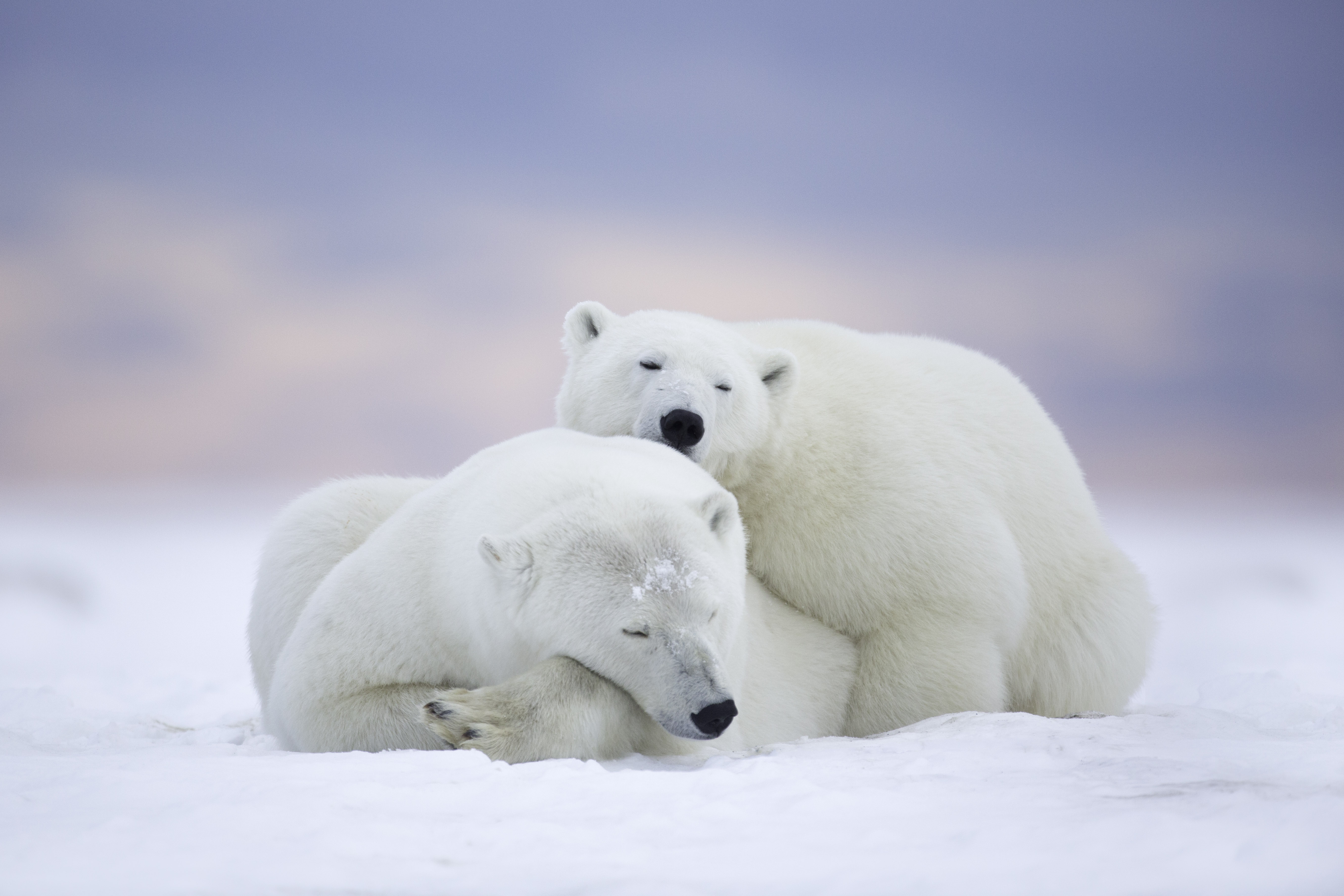 Polar Bears Cuddling 5k Retina Ultra HD Wallpaper