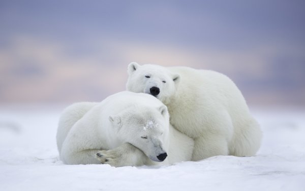 Animal Polar Bear Bears Bear HD Wallpaper | Background Image