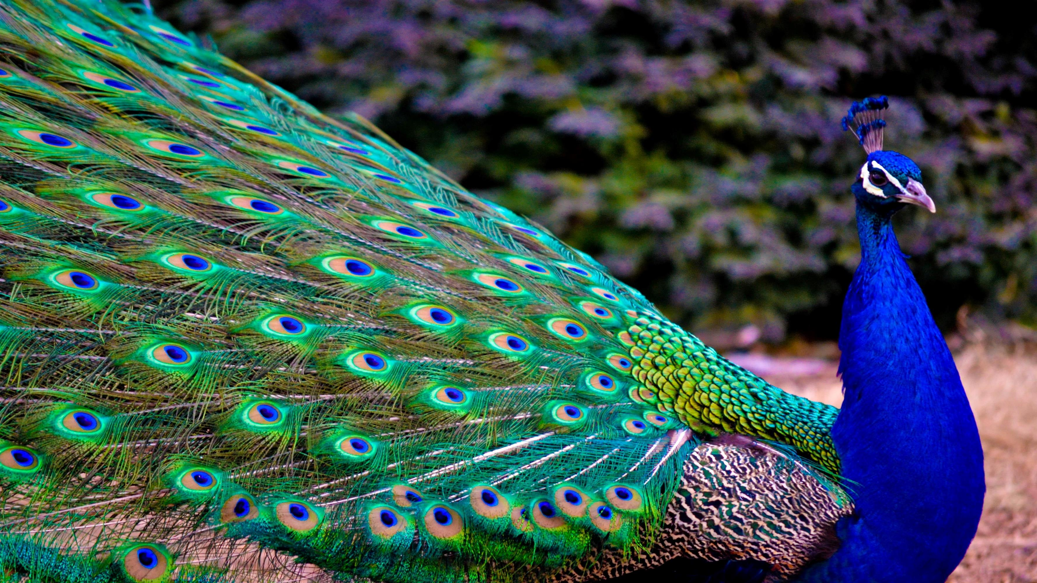 Indian Peacock HD Wallpaper