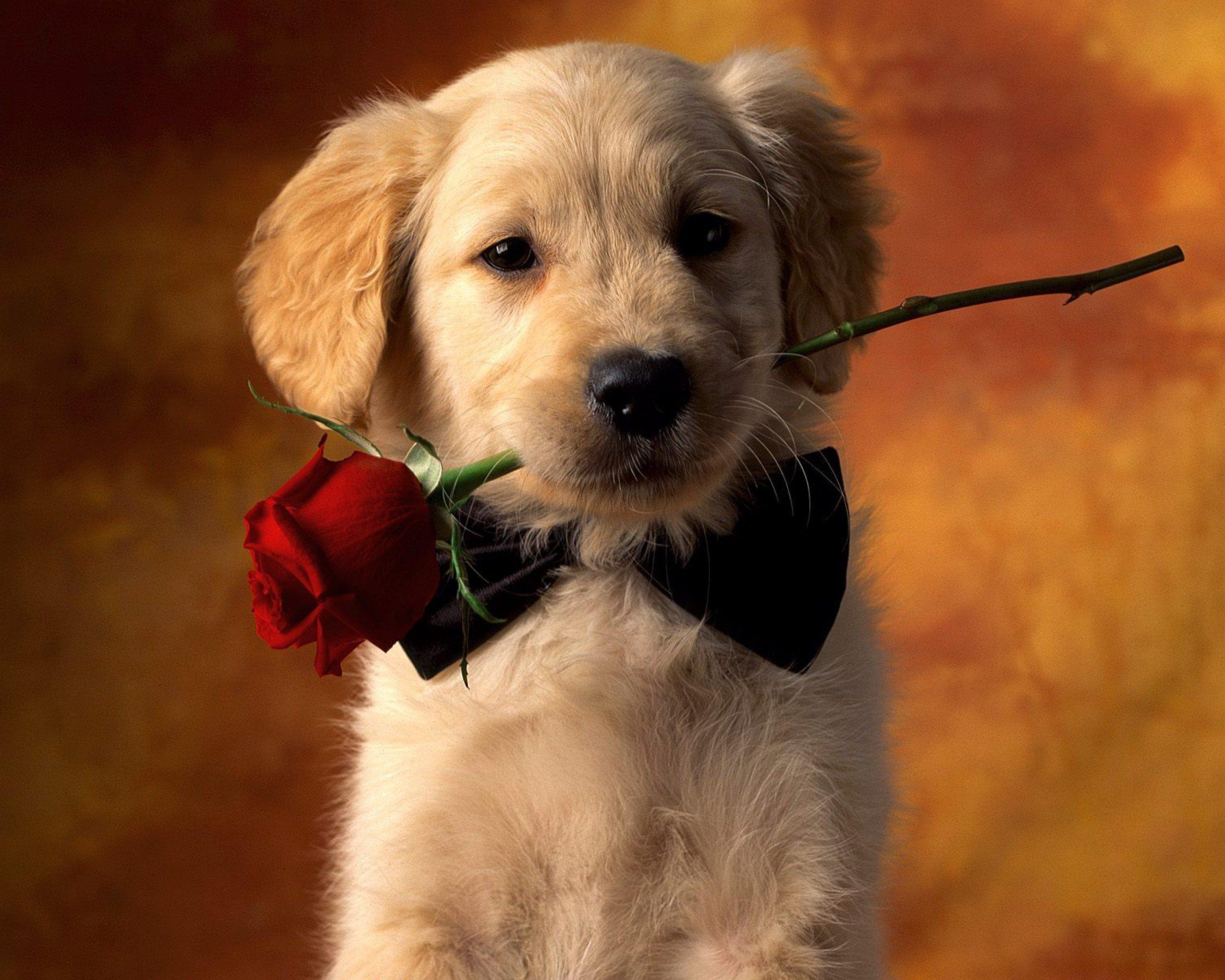 Djur - Dog  Red Rose Rose Puppy Pet Bakgrund
