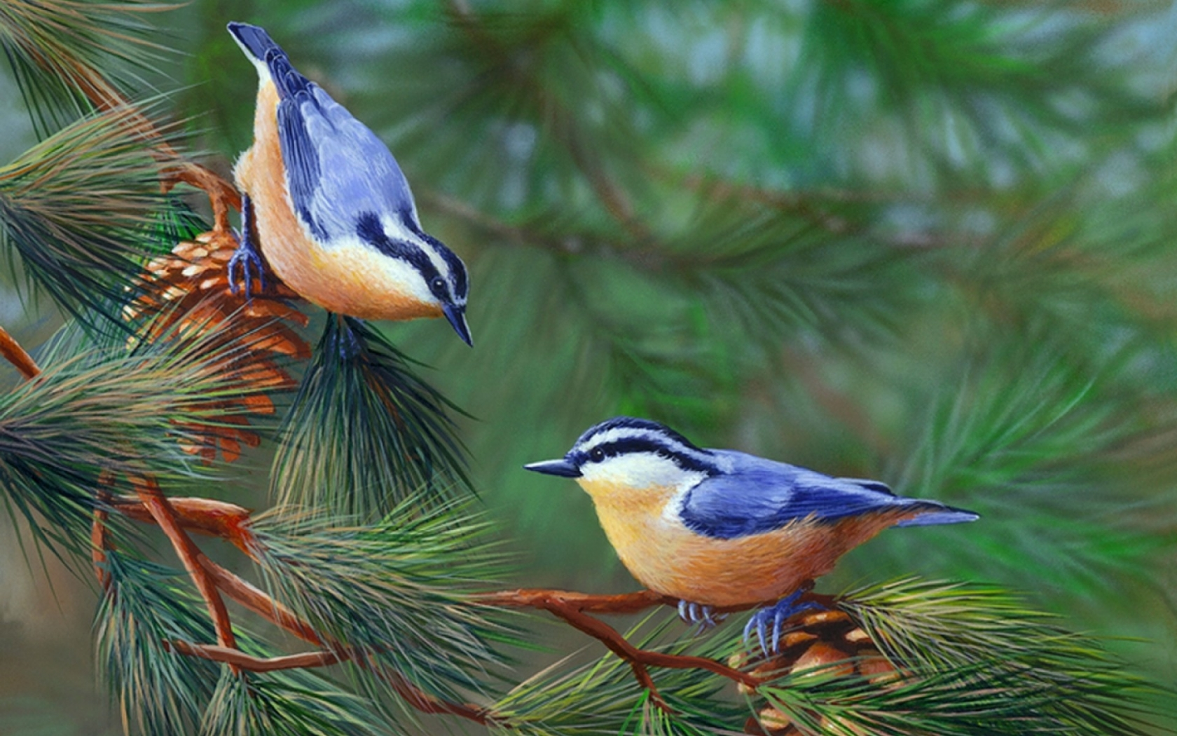 Red-Breasted Nuthatches On Pine Tree Branch Wallpaper And
