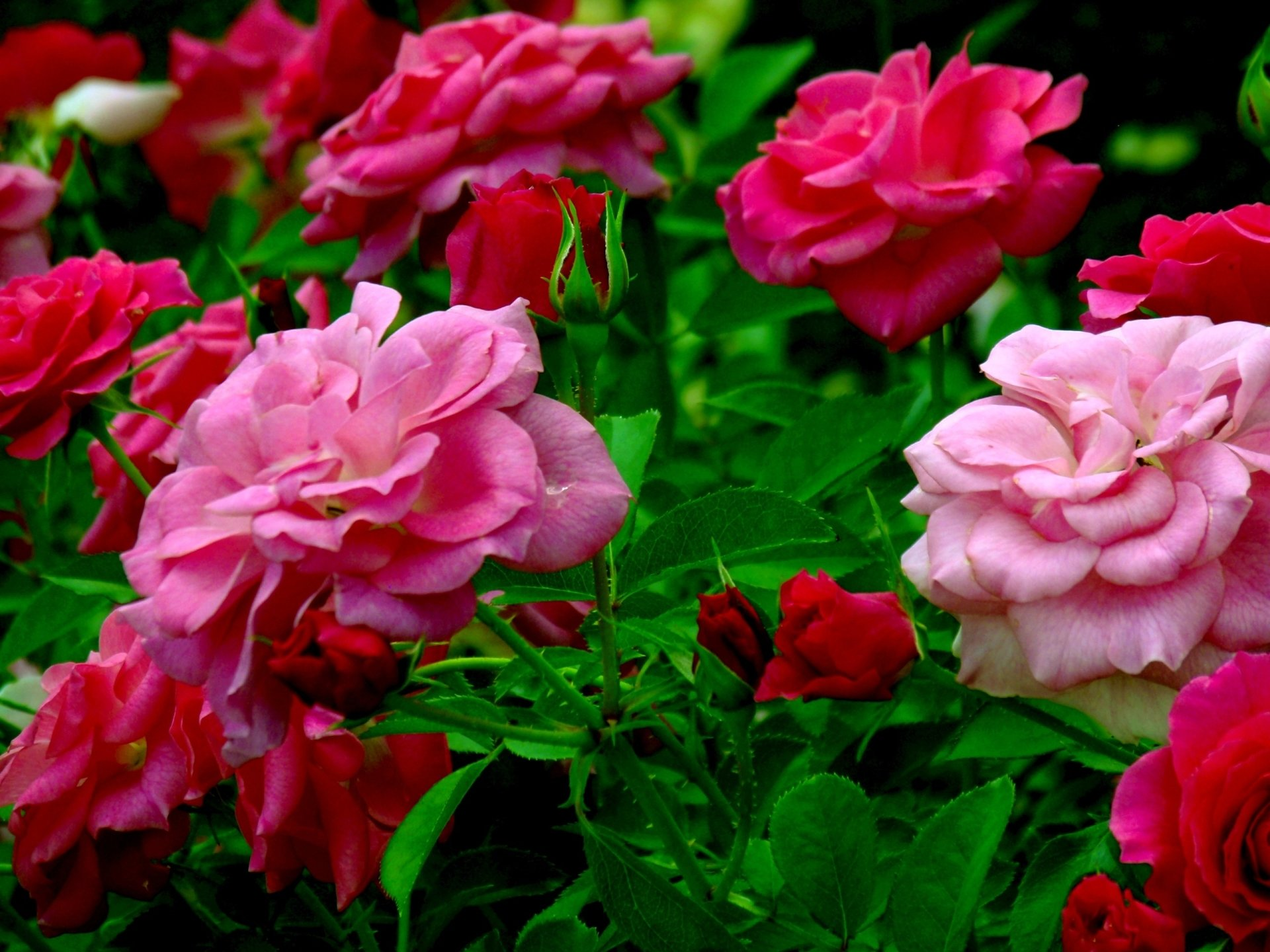 Light and dark pink roses hd wallpaper background image - Red flower desktop wallpaper ...