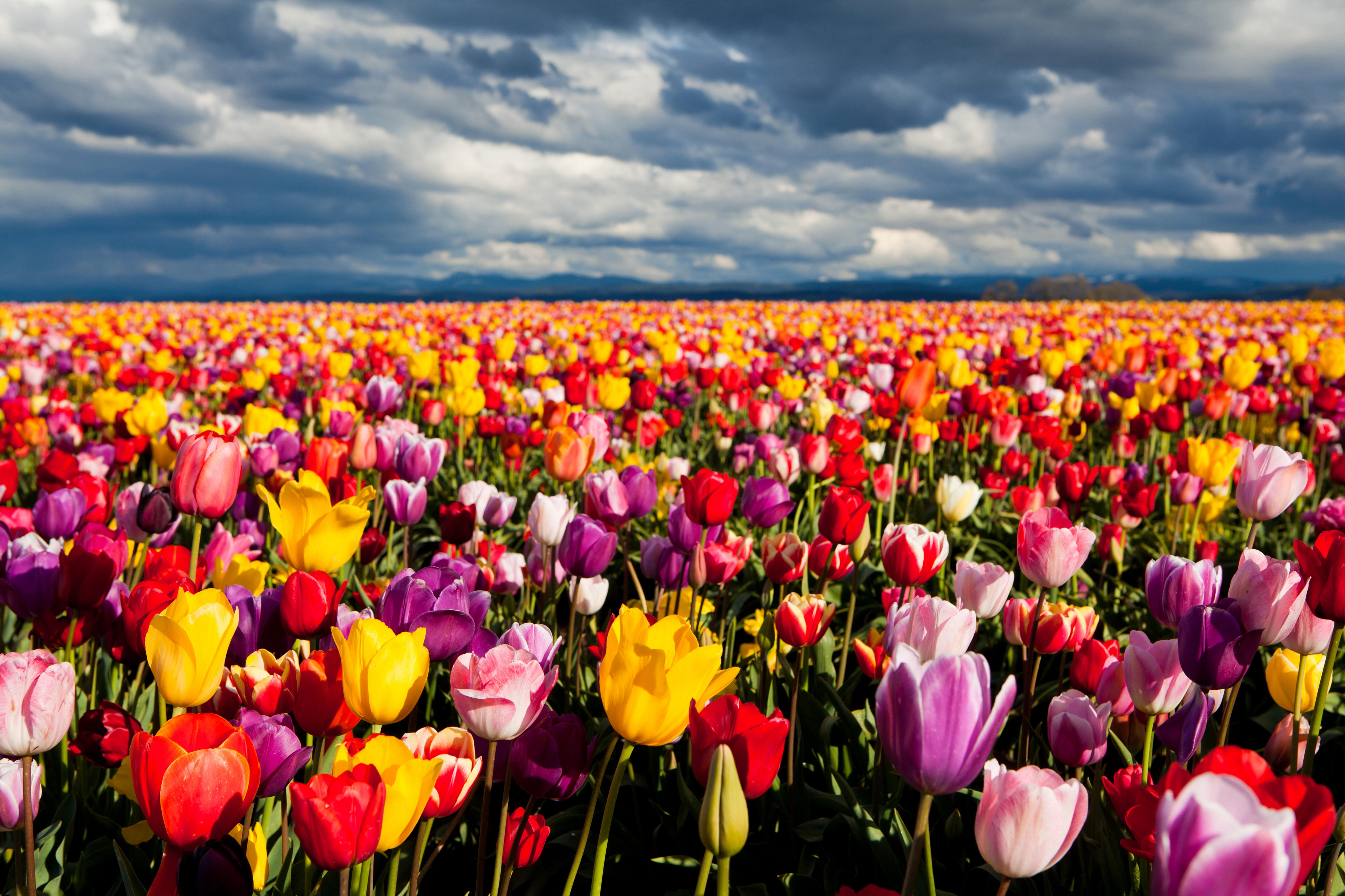 Pink And Yellow Tulips Wallpapers HD : Flower Wallpaper - Zarofil.com