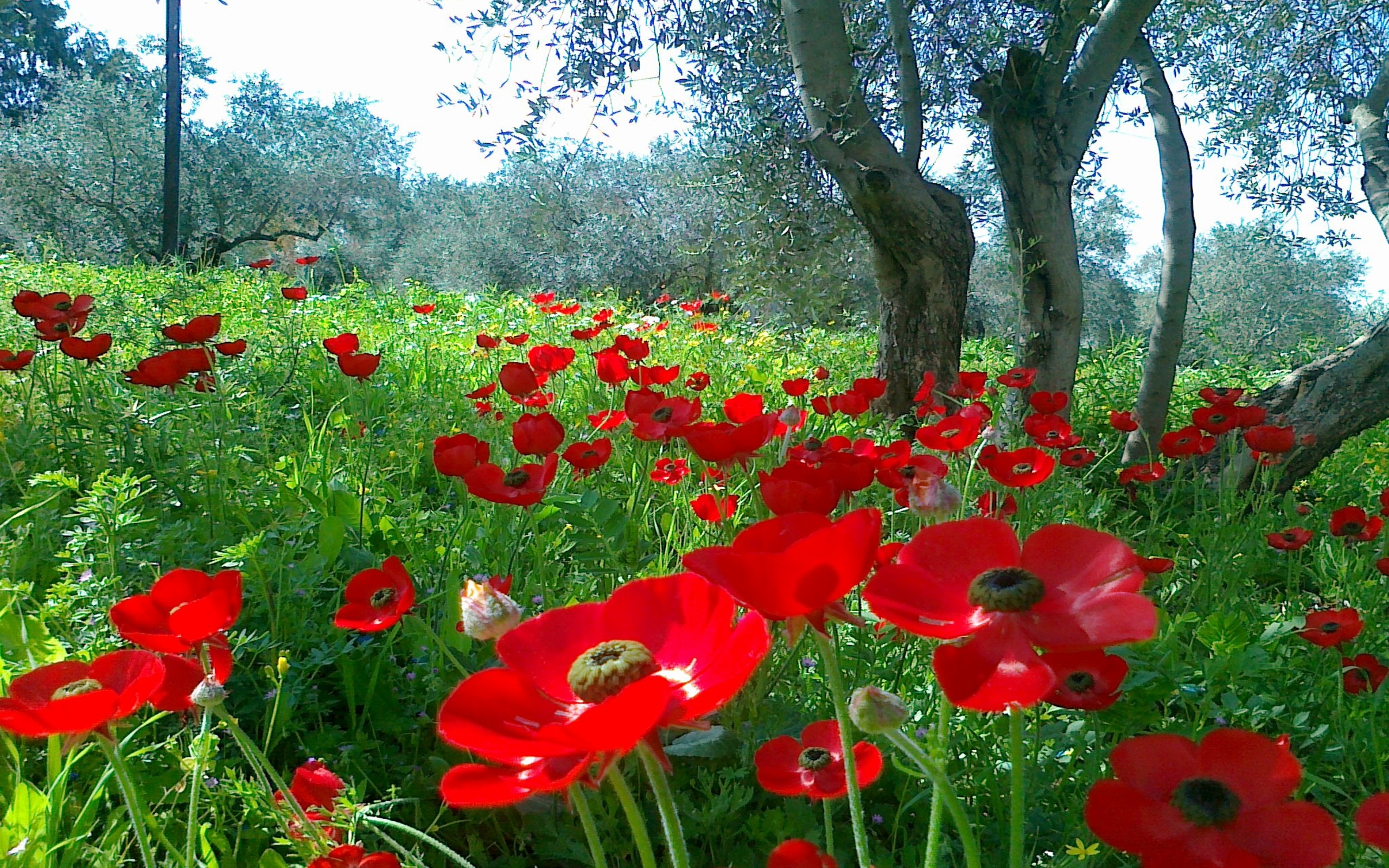 Red poppies in field hd wallpaper background image 2560x1600 id 682848 wallpaper abyss - Poppy wallpaper ...