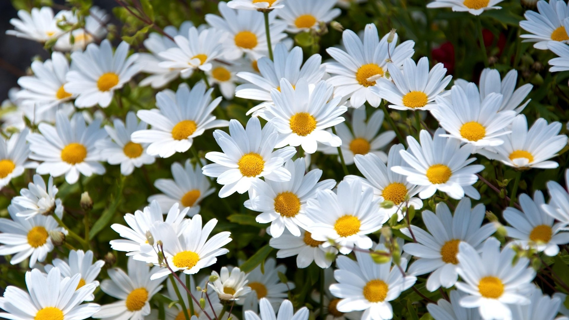 402 daisy hd wallpapers background images wallpaper abyss hd wallpaper background image id683913 izmirmasajfo