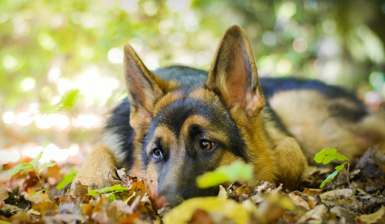 animals german shepherd desktop - photo #34