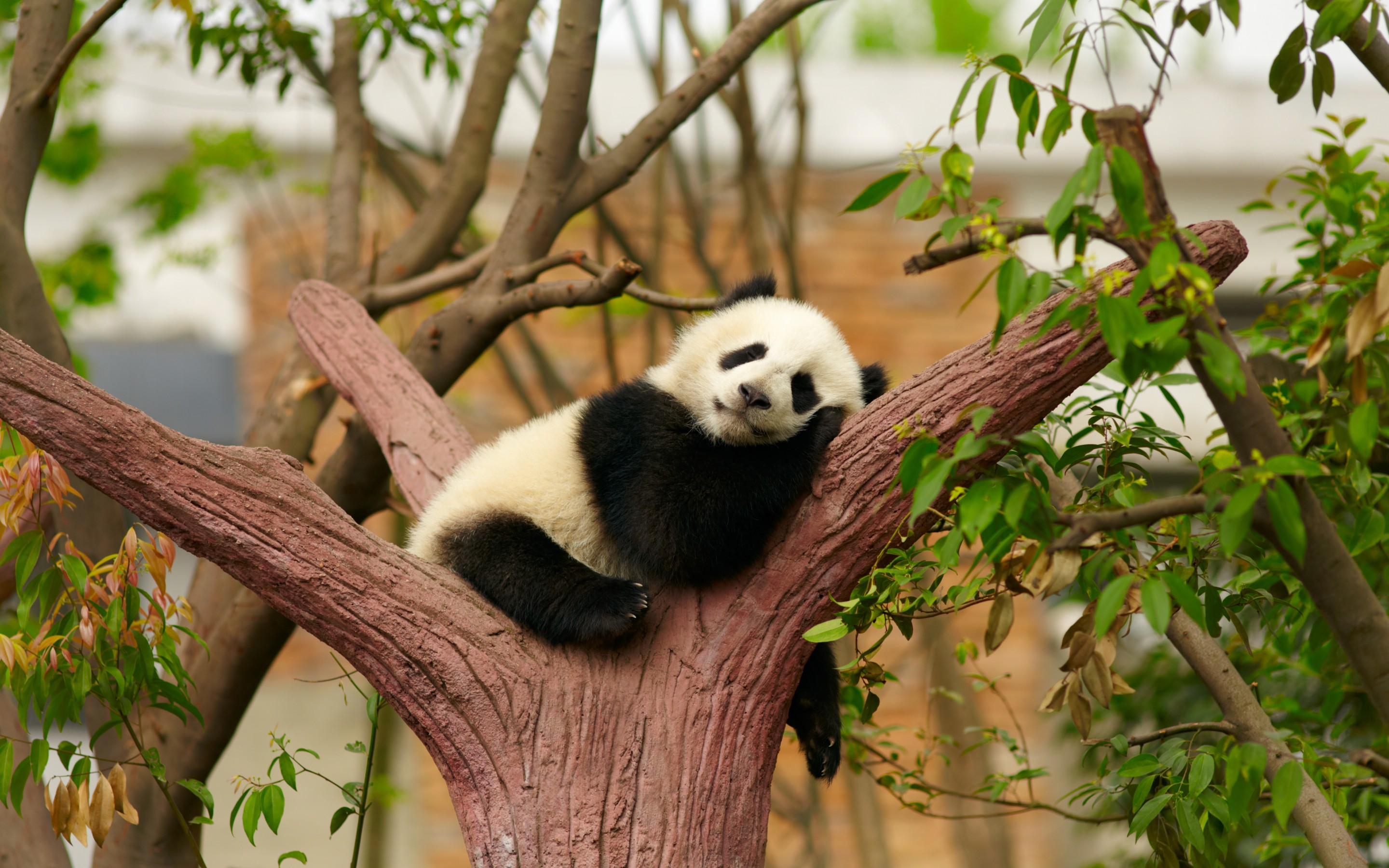 204 Panda HD Wallpapers