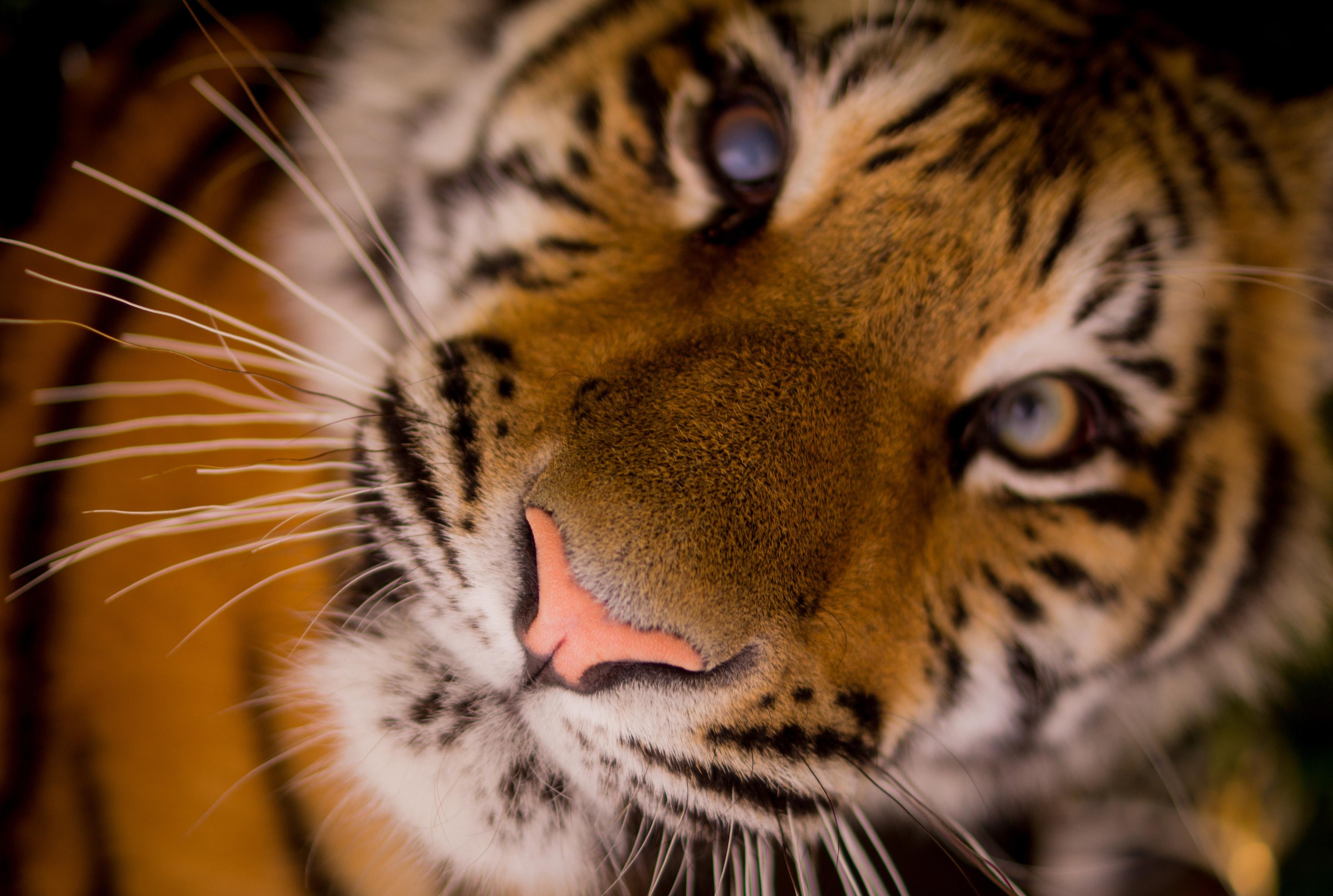 beautiful tiger hd wallpaper background image