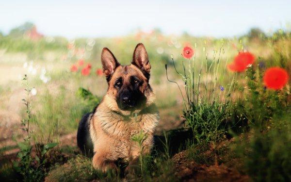 Animal German Shepherd Dogs Dog Summer Poppy Flower Bokeh HD Wallpaper | Background Image