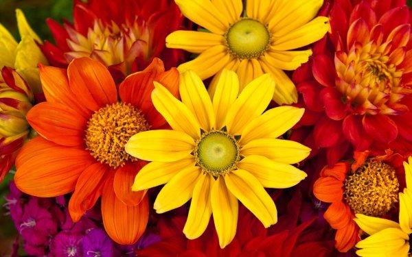 Terre/Nature Fleur Fleurs Gerbera Daisy Dahlia Yellow Flower Red Flower Orange Flower Purple Flower Fond d'écran HD | Image