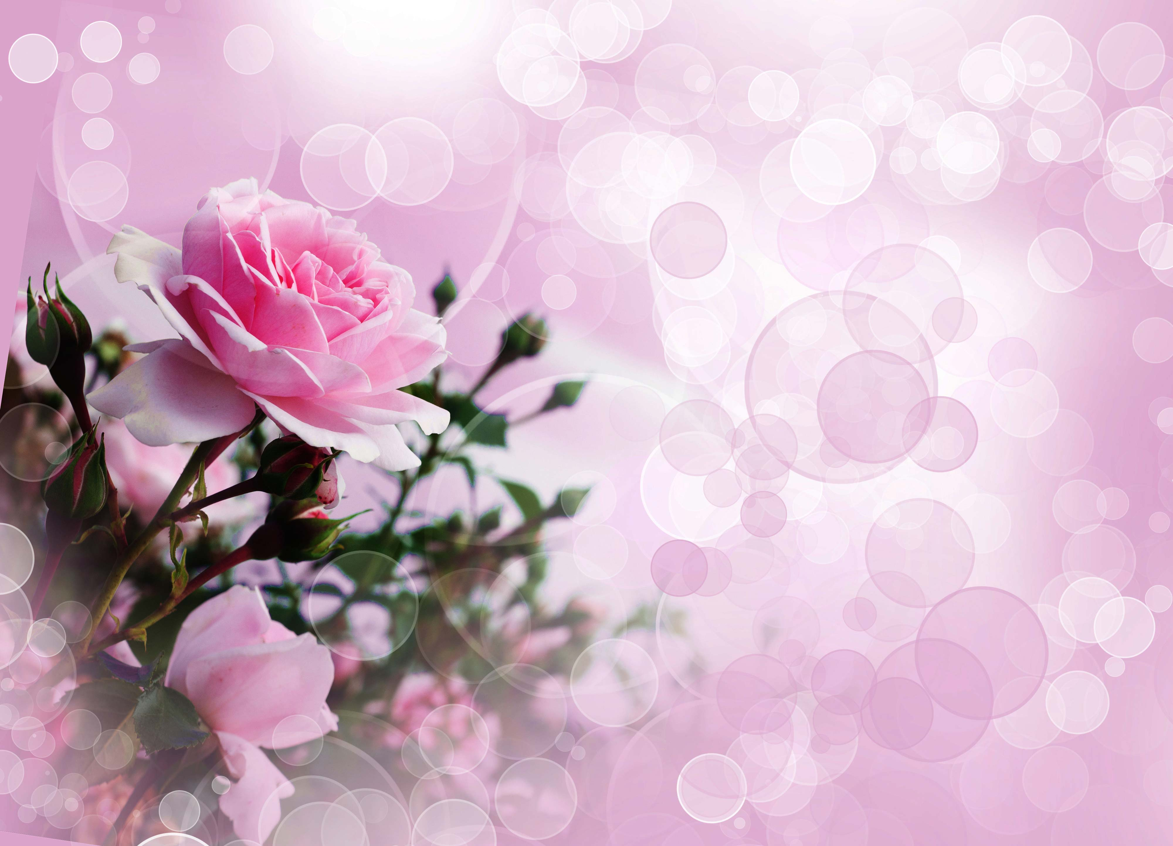 Pink Rose 4k Ultra Hd Wallpaper Hintergrund 4000x2887