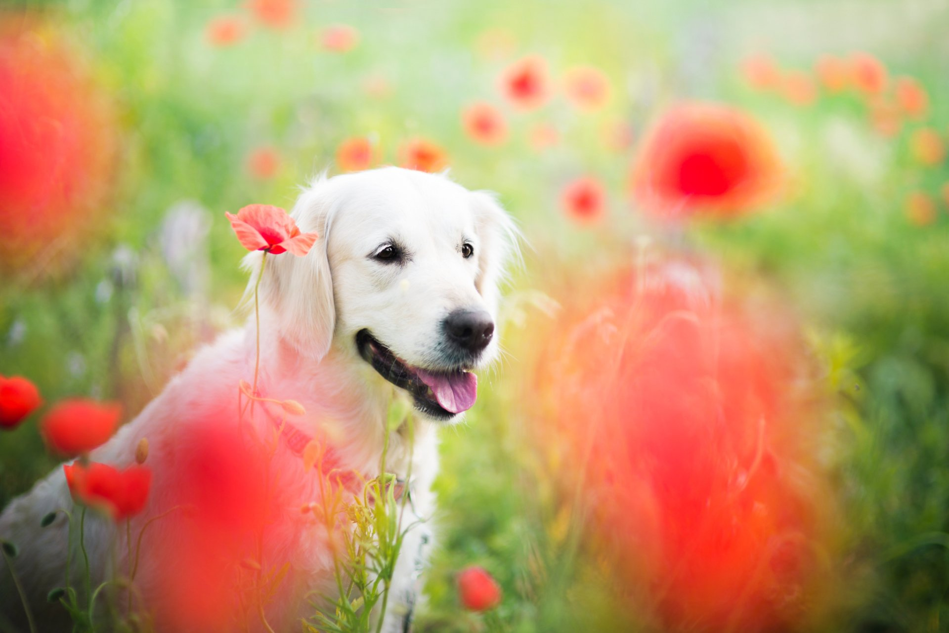 Animal - Golden Retriever  Dog Field Flower Poppy Red Flower Bokeh Wallpaper