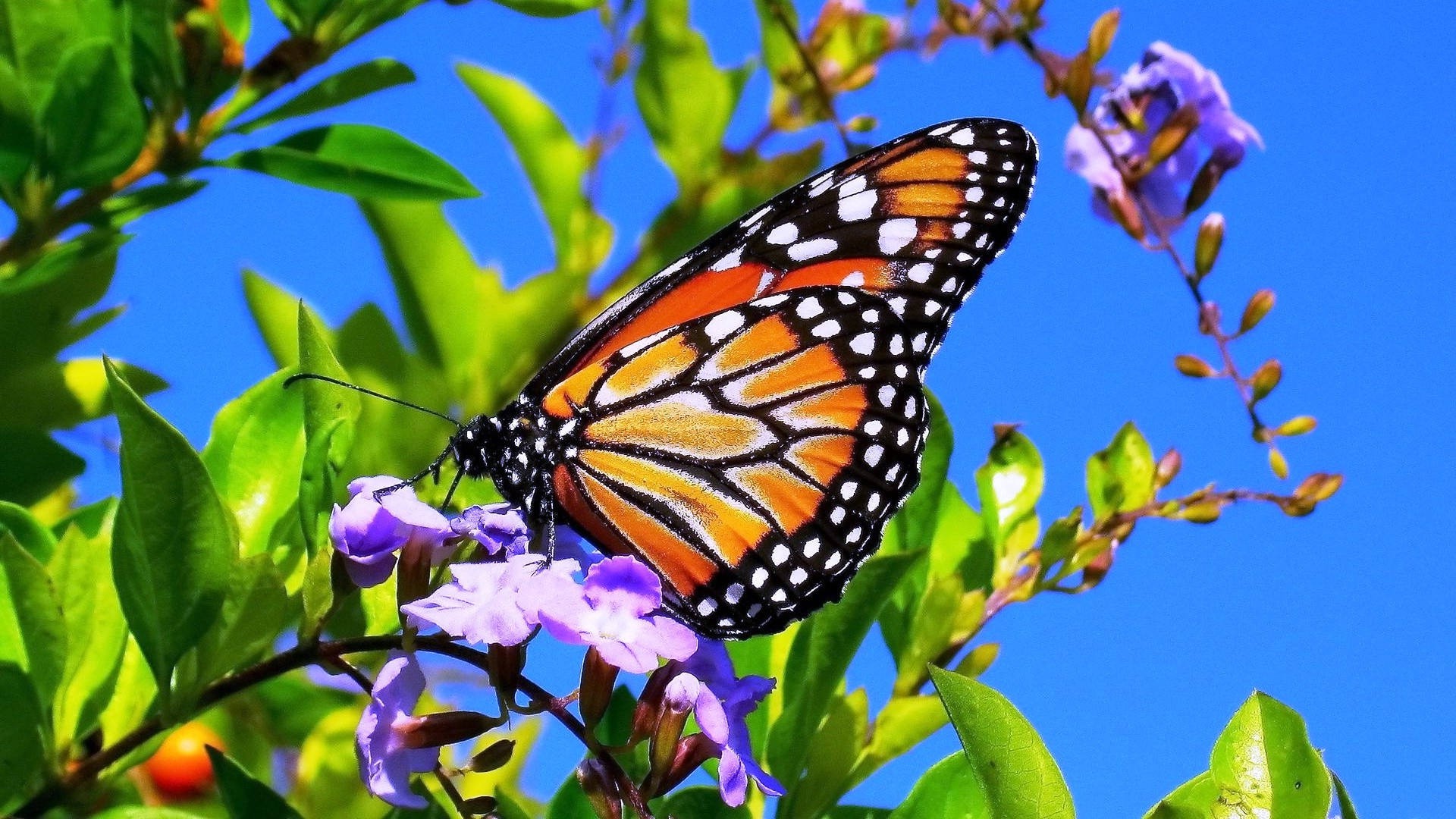 Butterfly On Flower Full HD Wallpaper And Background Image